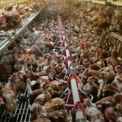 kip rechtstreeks bij de boer kopen