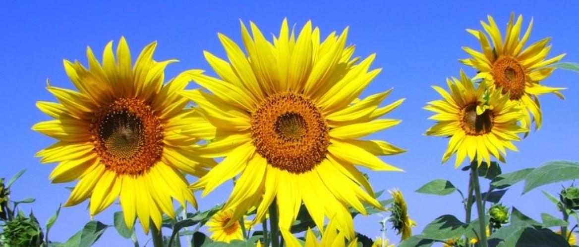 Zijn zonnebloempitten nu echt zo gezond?