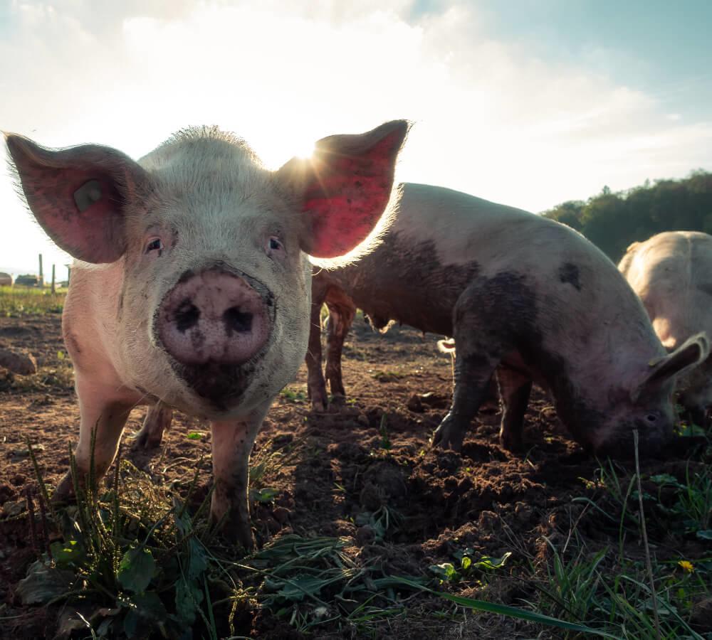 Hoe goed is het vlees dat wij eten voor onze gezondheid?