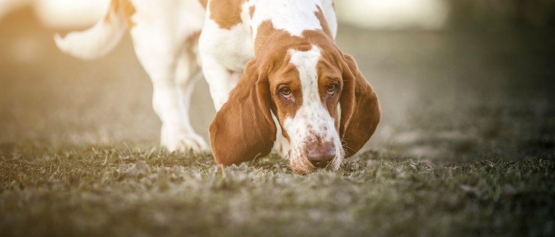 Hond-snuffelen