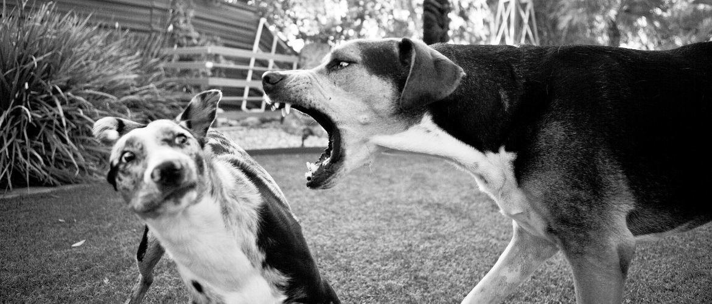 Wanneer is een hond dominant?