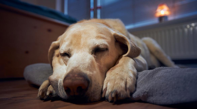 Hoeveel slaap heeft een hond nodig?
