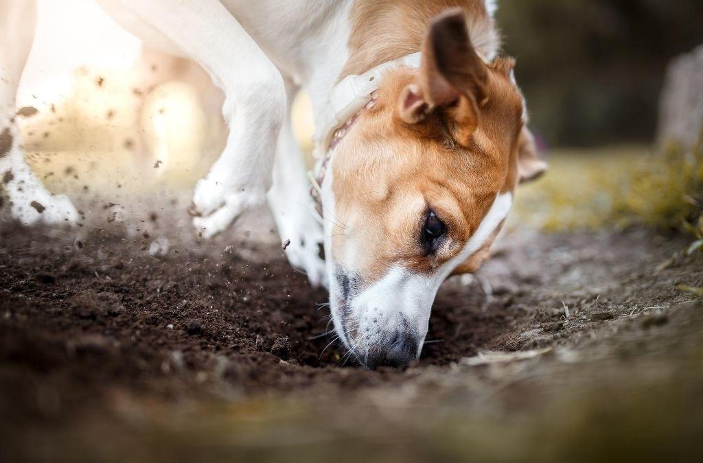 Hond is aan het graven