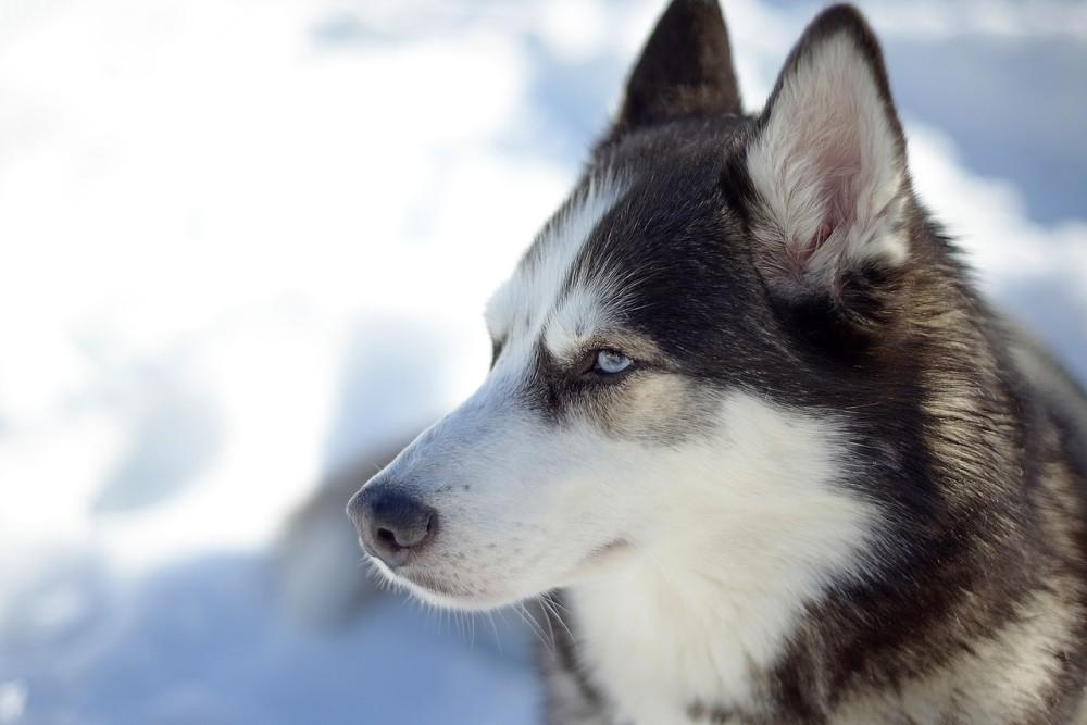 Hondenras de Husky