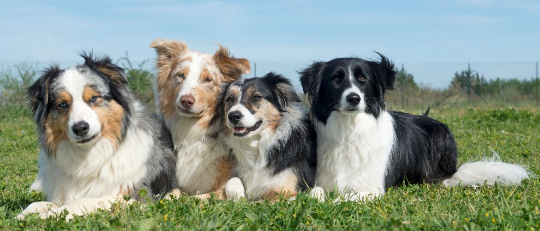 Wat is een rashond?