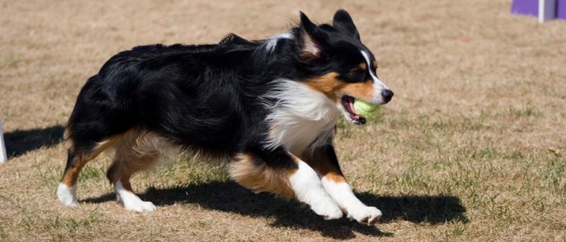 Flyball voor honden