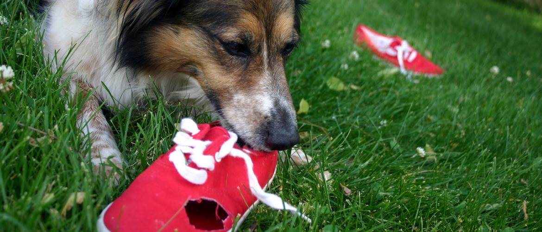 Hond kauwen op spullen