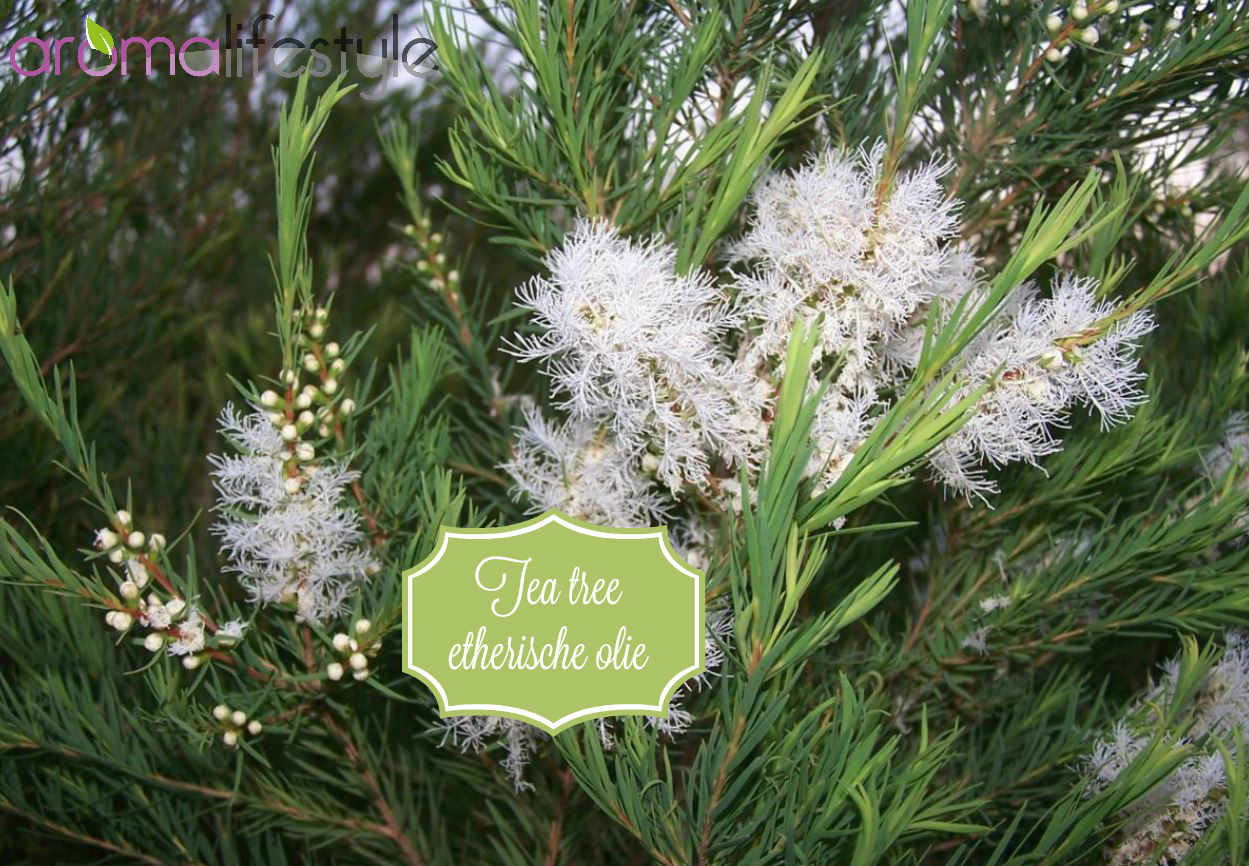 Tea tree etherische olie (Melaleuca Alternifolia) - Aromalifestyle