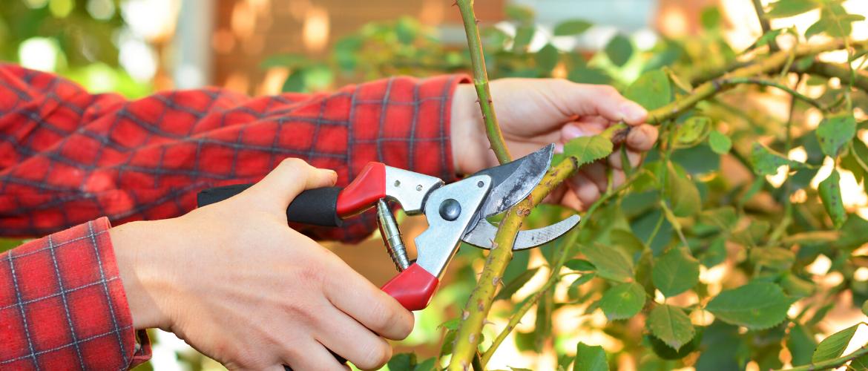Welke bomen en planten snoei je in de maand mei?