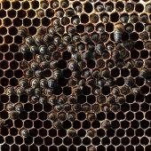 Verhongerd bijenvolk