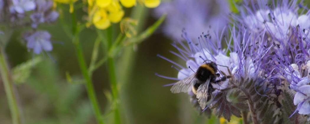 Bijenstichting doet mee aan #GivingTuesdayNL Help de Bijen en Hommels!