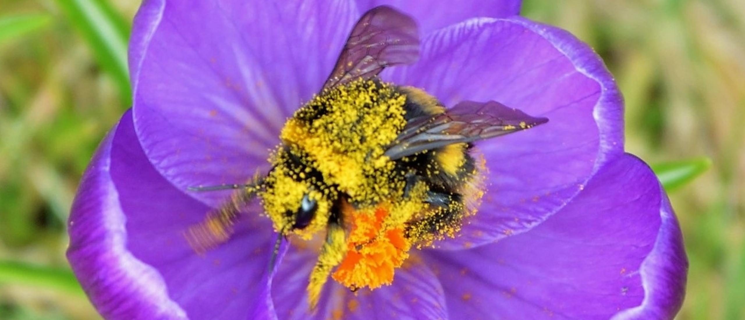 Plant alleen biologische bloembollen voor bijen!