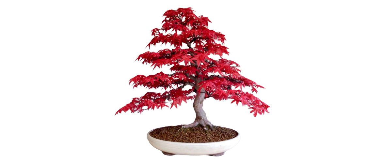 Hoe snoei je een bonsai Acer palmatum?