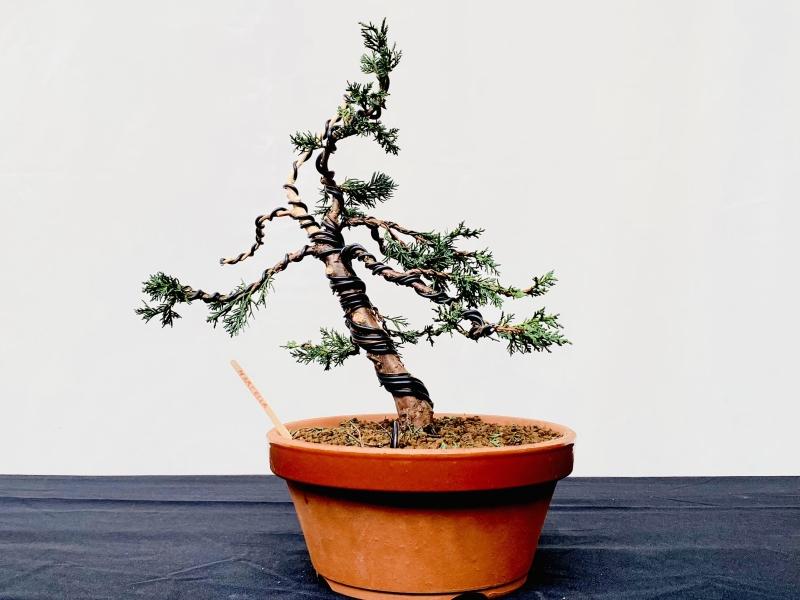 Beginner bonsai na