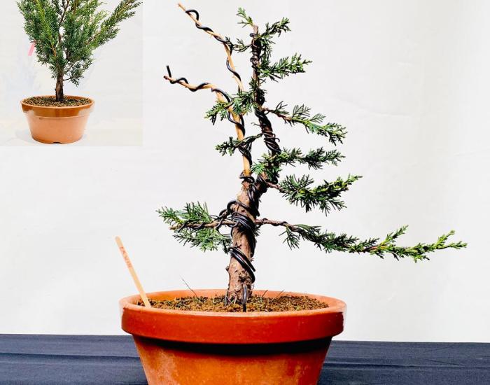 Beginner bonsai voor en na