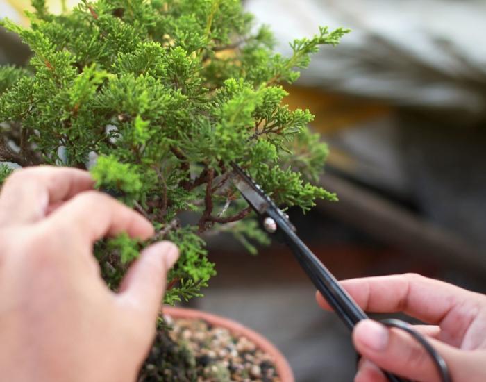 Hoe snoei ik een bonsai?