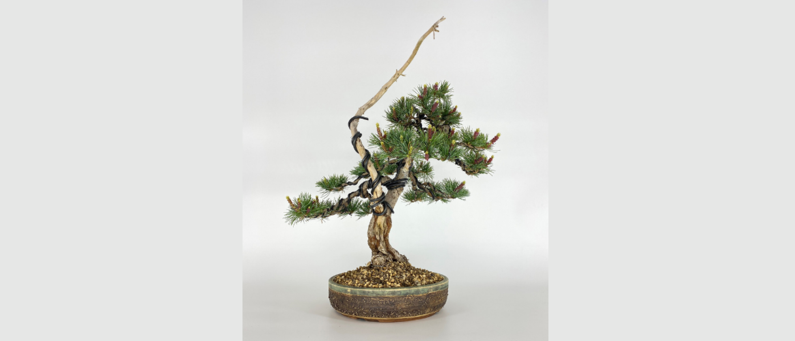 Hoe verdeel je de energie in een bonsai witte den?