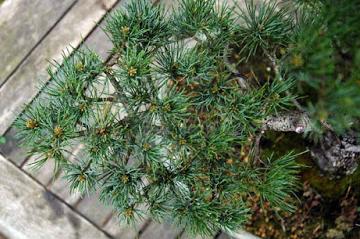 Onergieverdeling bonsai pinus parviflora