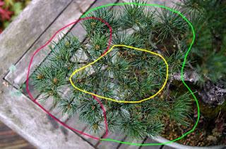 energieverdeling bonsai pinus parviflora