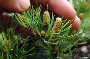 energieverdeling bonsai pinus parviflora3