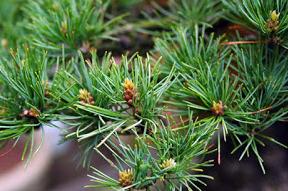 energieverdeling bonsai pinus parviflora4