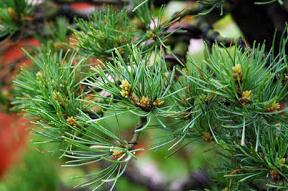 energieverdeling bonsai pinus parviflora5