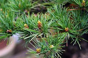energieverdeling bonsai pinus parviflora6
