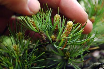 energieverdeling bonsai pinus parviflora8