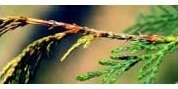 bonsaiziekte botryosphaeria-kanker