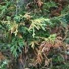 bonsaiziekte cipressenkanker seiridium