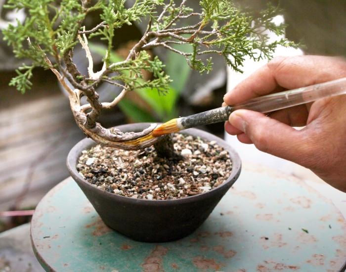 Hoe maak ik dood hout bij een bonsai?