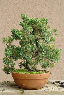 juniperus-chinensis1