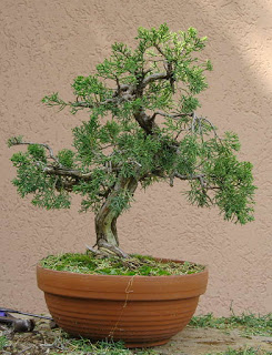 juniperus-chinensis11