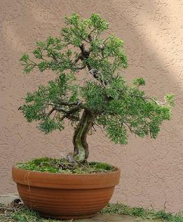 juniperus-chinensis12