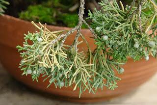 juniperus-chinensis3