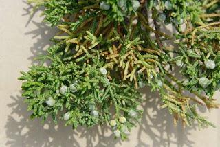 juniperus-chinensis4