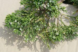 juniperus-chinensis5