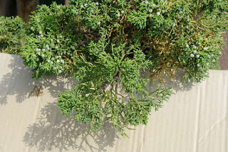 juniperus-chinensis6