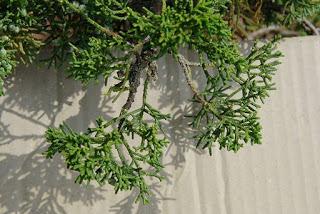 juniperus-chinensis9