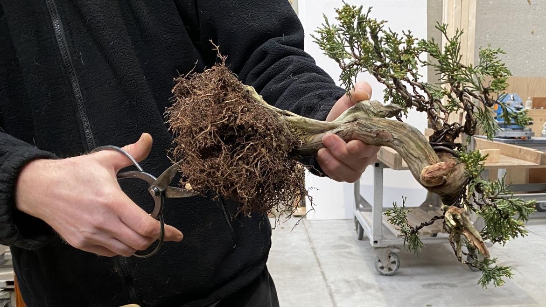 Wanneer kun je het beste een bonsai verpotten?3