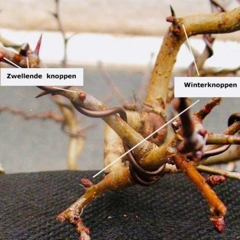 Wanneer kun je het beste een bonsai verpotten?5