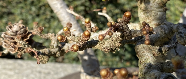 Wanneer is de beste tijd om je bonsai te verpotten?