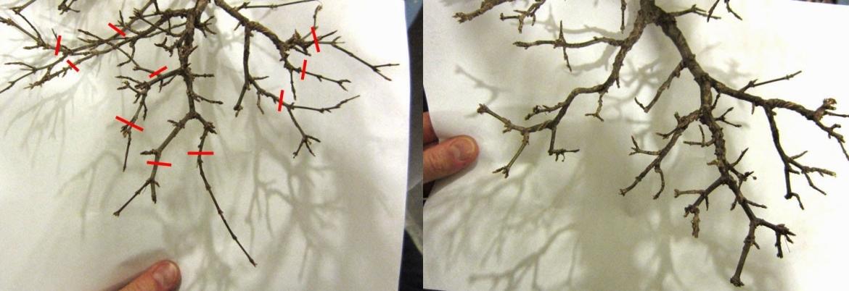 Snoeien bonsai Acer palmatum