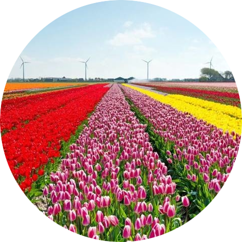 Tulpen Noord-Holland