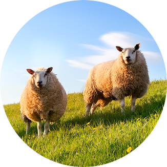 Groepsaccommodaties in de natuur van Drenthe met schapen