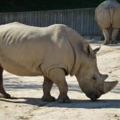Witte neushoorn nog te zien in dierentuin Tsjechië