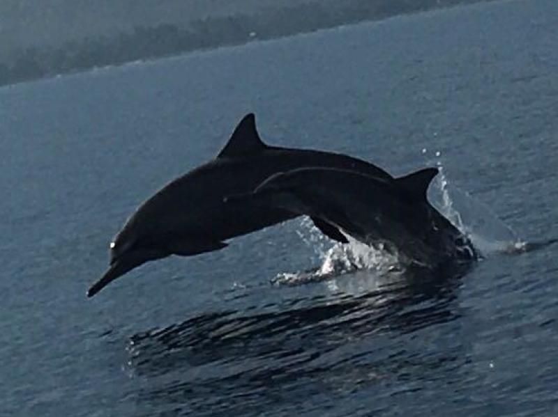 Dolfijn in Lovina Bali