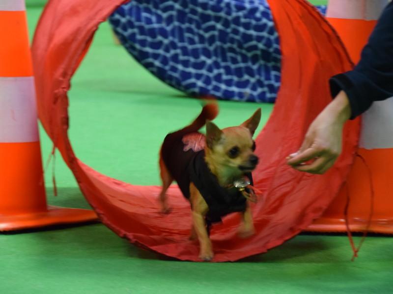 Chihuahuas-agility