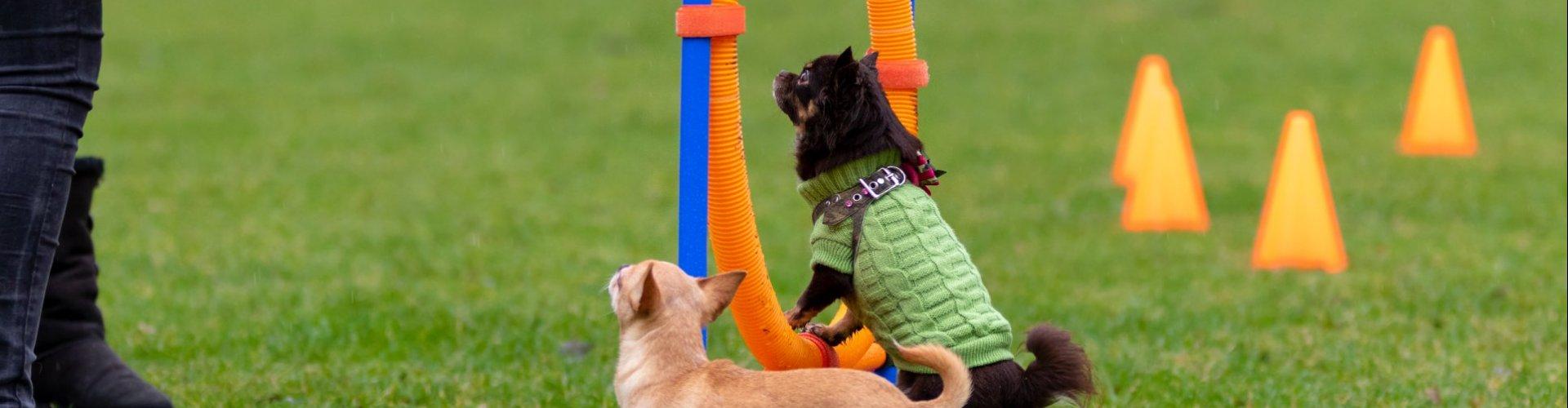 Chihuahua playday Vlaardingen header