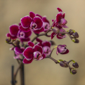 Cinefleur Rotterdam Mini-Phalaenopsis Close
